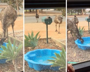 Desperate Emus Invade Garden To Drink From Pool In Drought 6