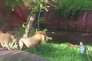 Lions Don't Want To Eat An Drunk Man 12
