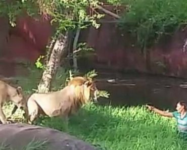 Lions Don't Want To Eat An Drunk Man 1