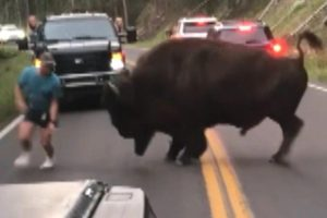 Bison Walks Away After Tourist Taunts Animal at Yellowstone National Park 12
