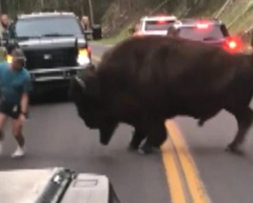 Bison Walks Away After Tourist Taunts Animal at Yellowstone National Park 3
