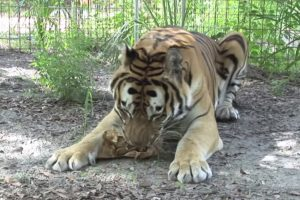 Does Catnip Work On Big Cats Like Lions And Tigers? 12