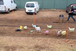 Bizarre Rainbow Chicken Races In Outback 11