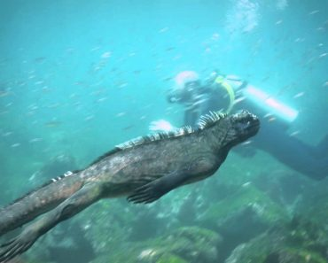 "Huge ""Godzilla"" Iguana Swims Alongside Scuba Divers In Stunning Underwater Footage 1"