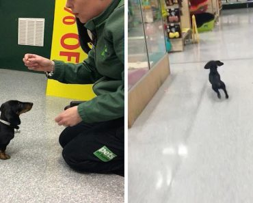 Adorable Dachshund Has Own Job At Pet Store 1