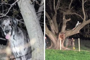 Meet Kora, The 120 Pound Great Dane Rescued From 20 Feet Up In a Tree 12