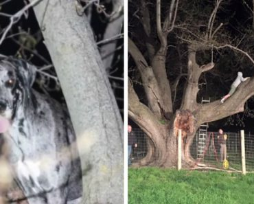 Meet Kora, The 120 Pound Great Dane Rescued From 20 Feet Up In a Tree 5