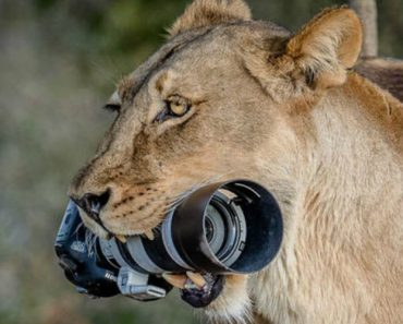 Lioness Snatches £2,000 Photographer's Camera 1