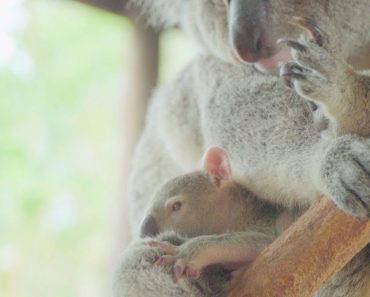 Baby Koalas Leave Mum's Pouches For First Time 5