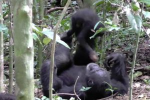 Footage Shows Chimp Playing 'Airplane' With Baby 12