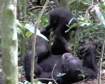 Footage Shows Chimp Playing 'Airplane' With Baby 5