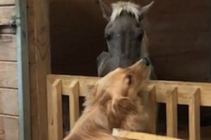 Neglected, Abandoned Horse Forms Bond  With Golden Retriever At Rescue Shelter 12