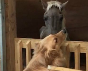 Neglected, Abandoned Horse Forms Bond  With Golden Retriever At Rescue Shelter 4
