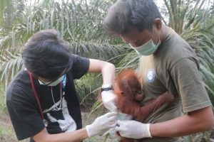 Adorable Baby Orangutan Rescued 14