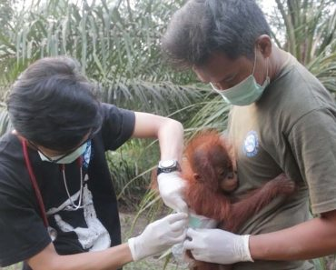 Adorable Baby Orangutan Rescued 4