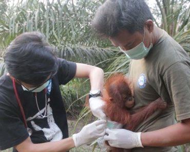 Adorable Baby Orangutan Rescued 3