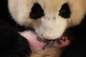 New Panda Mom Doesn't Realize She Had Twins 12