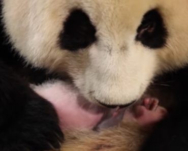 New Panda Mom Doesn't Realize She Had Twins 3